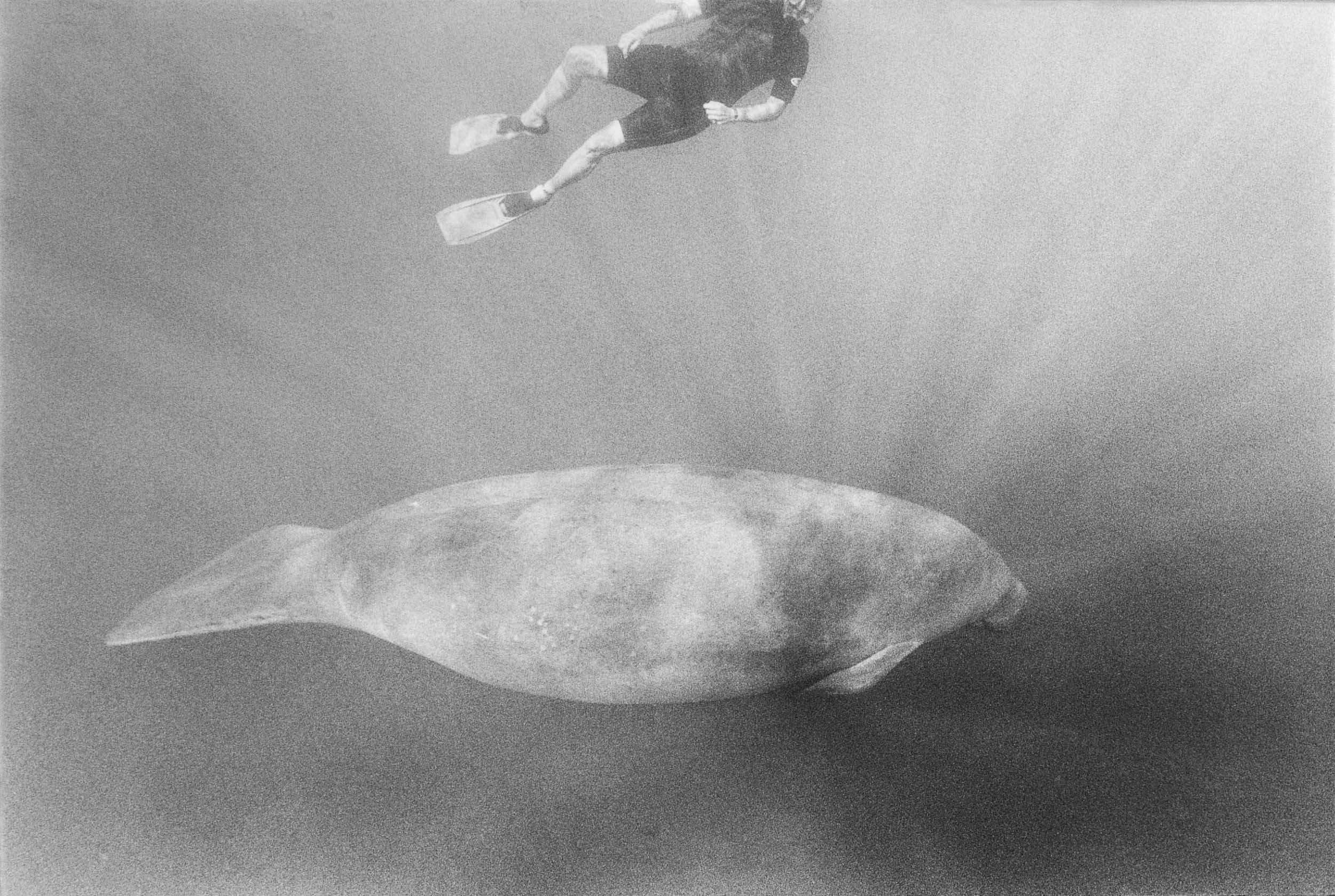 Barbara Alper- Photo of Manatee and person swimming in Crystal River Florida