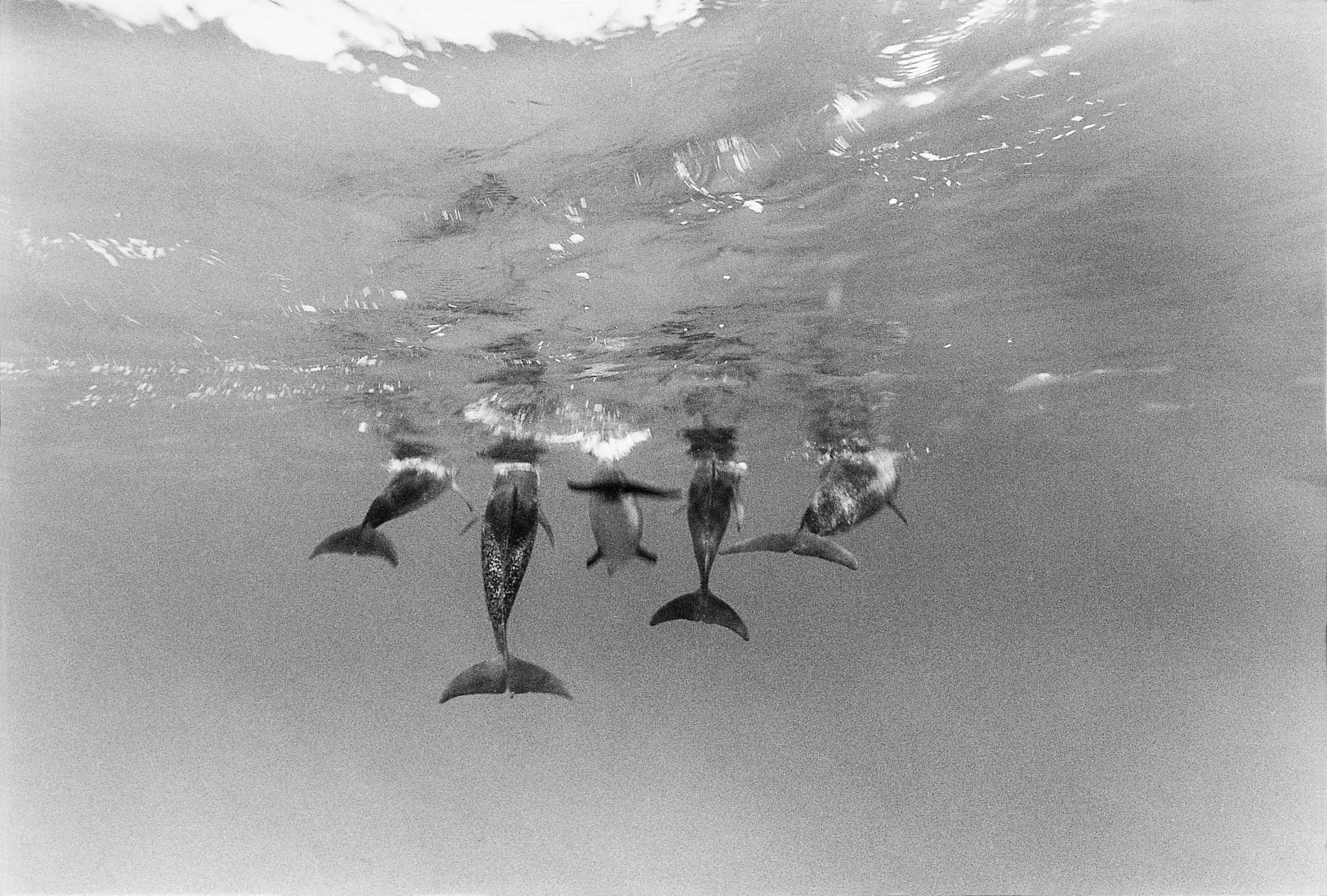 Barbara Alper- Photo of five dolphin tails swimming away in the Bahamas