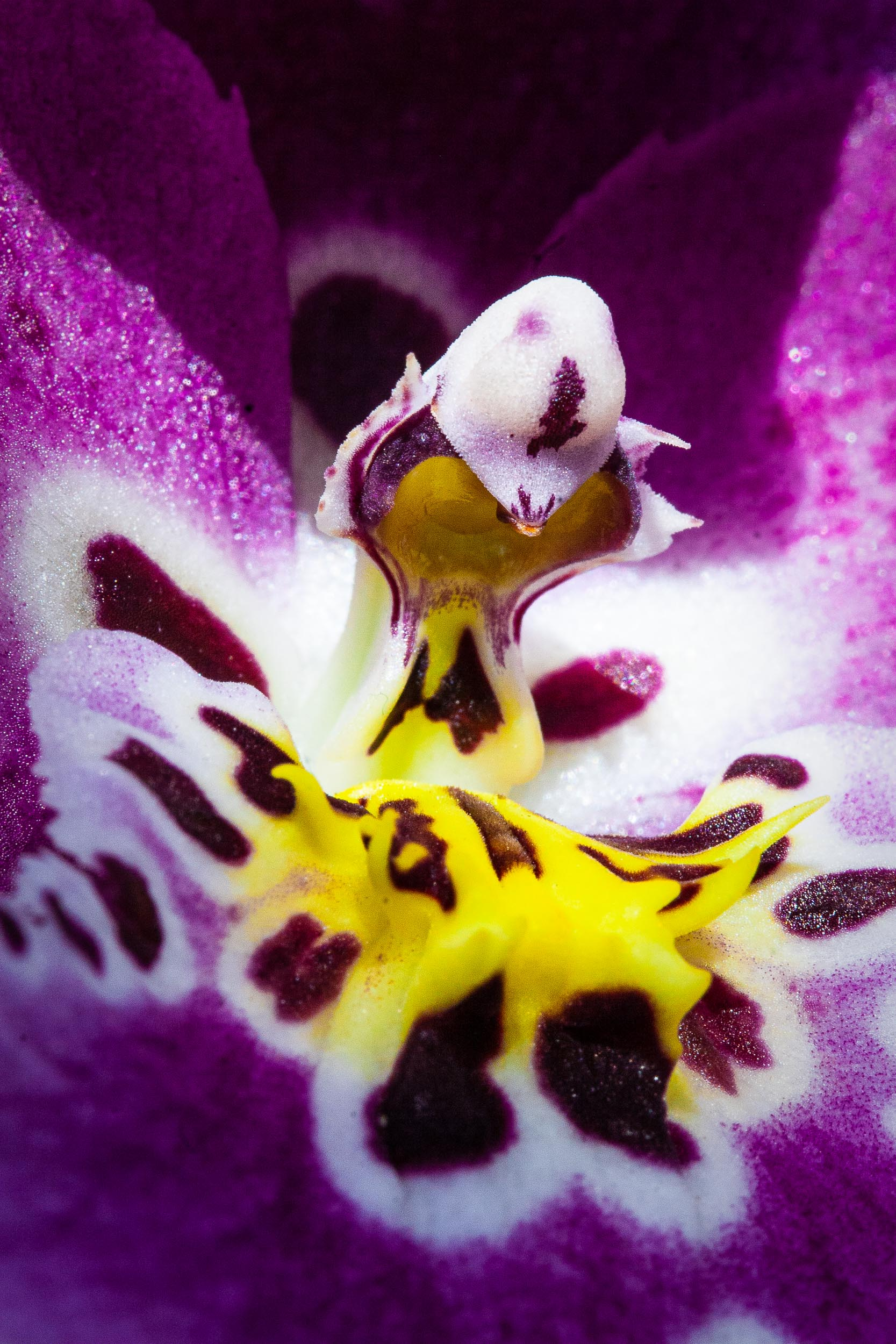 "Barbara Alper- Macro Photo of Beallara ""Diana Dunne"