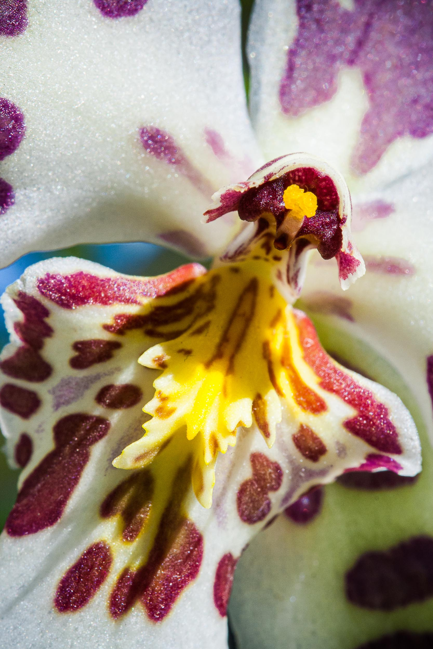 Barbara Alper- Macro Photo of Beallara, Purple Haze